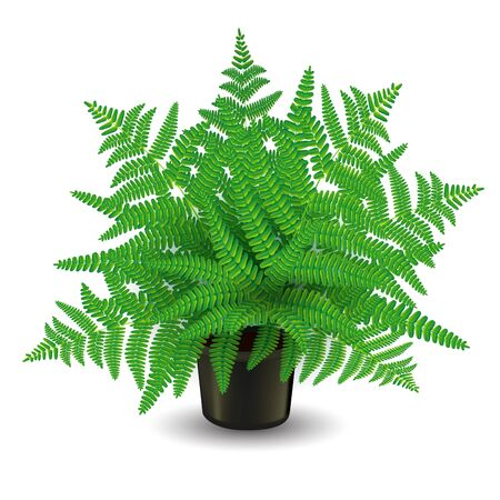 young leaves: Home fern isolated on white. Vector illustration Illustration