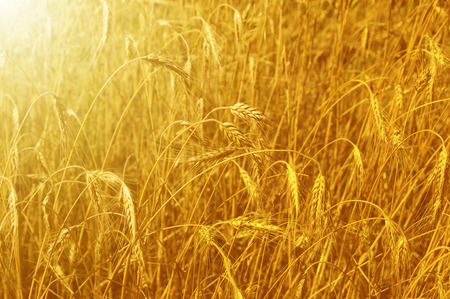 sunligh: Ripening spikelets of wheat field in the bright sunligh Stock Photo