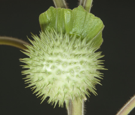 solanaceae: Macro of poison plant seedpod stramonium