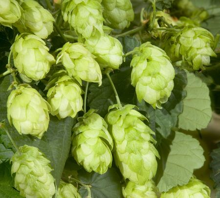 ripened: Ripened hop cones in the hop garden