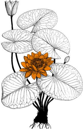 water lilies: Bot lirio de agua  Vectores