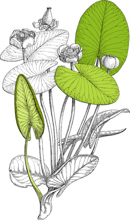 Bot water lily Illustration