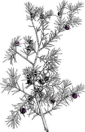 four leaved: ilustration of flowers Illustration