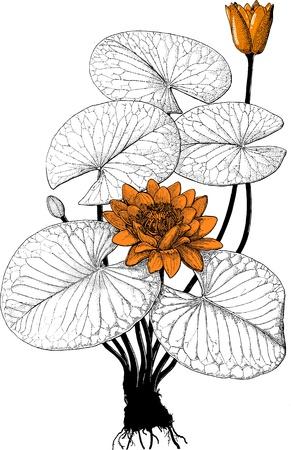 bot: Bot water lily Illustration
