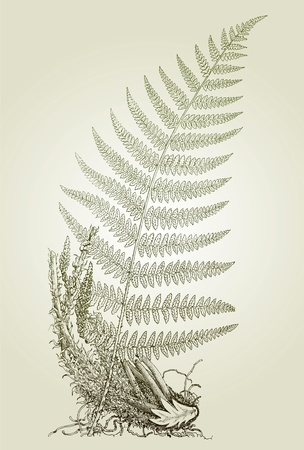 fern leaves, vector illustration  Illustration