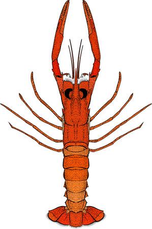 haut: engraved lobster