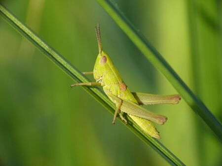 larva: Female larva of the Small Gold Grasshopper Stock Photo