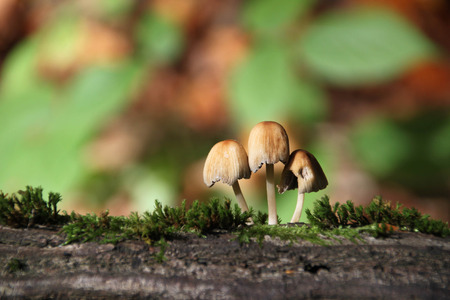 fruiting: Fruiting of Glistening Inkcap Stock Photo