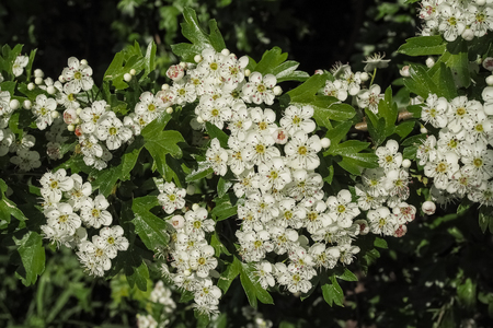 herbalism: Common hawthorn, crataegus monogyna
