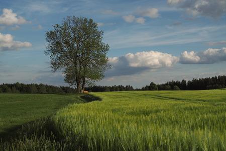 Barley field, Hordeum vulgare
