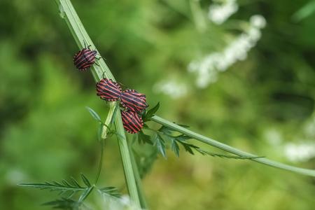 Minstrel bug, Graphosoma lineatum
