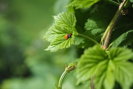 common hop: Common hop, Humulus lupulus