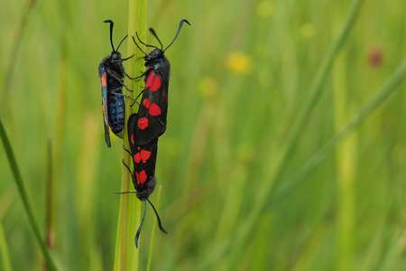 zygaena: Narrow-bordered five-spot burnet, Zygaena lonicerae