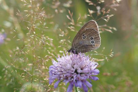 ringlet butterfly, Aphantopus hyperanthus
