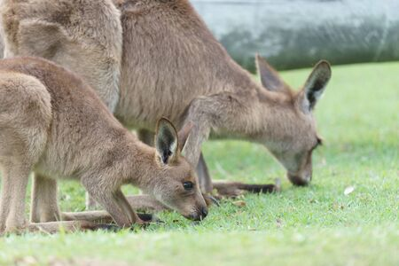 Kangaroos eating grass and playing in the wild in Australia.