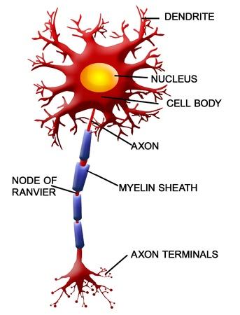 cellule nervose: Struttura di un illustrazione del motoneurone Vettoriali