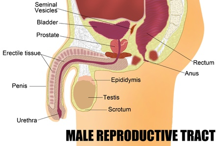 Male Reproductive System Vector