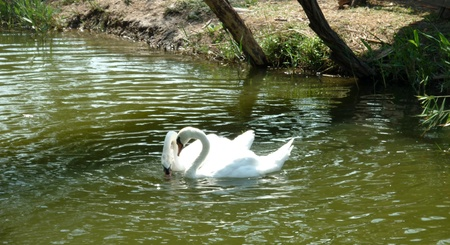 Pair of white swans on a pond photo
