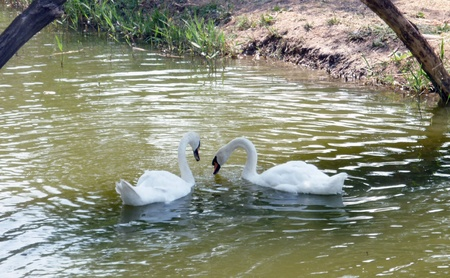 Romantic couple of swans on the lake  photo