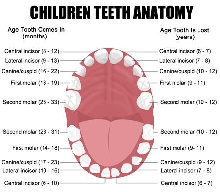Anatomía de los dientes de los niños (erupción muestra y el tiempo de vertimiento), ilustración vectorial (para la educación médica básica, para las clínicas y escuelas) Ilustración de vector