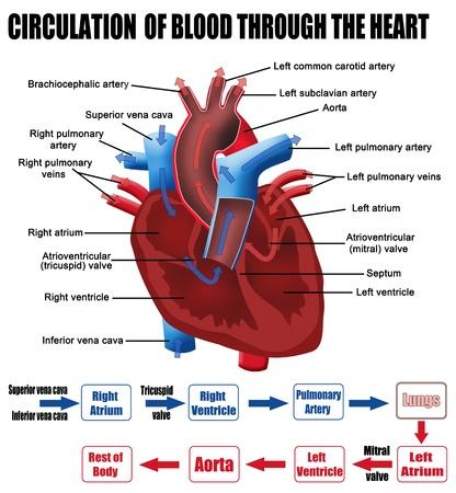 Circulatie van het bloed door het hart voor basis-medisch onderwijs, voor klinieken scholen