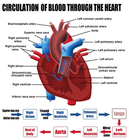 myocardium: Circulation of blood through the heart  for basic medical education, for clinics   Schools Illustration
