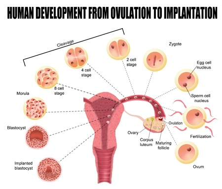 Human development from ovulation to implantation  for basic medical education, for clinics   Schools Vector