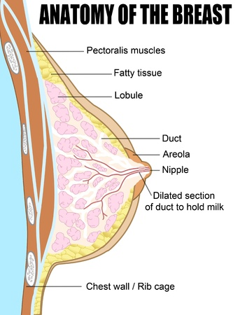 Female breast anatomic cross section Stock Vector - 13664246