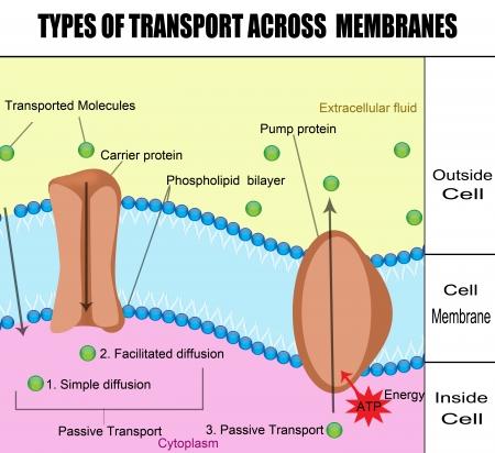 membrane cellulaire: Types de transport � travers les membranes - l'�ducation de base pour les cliniques m�dicales et les �coles Illustration