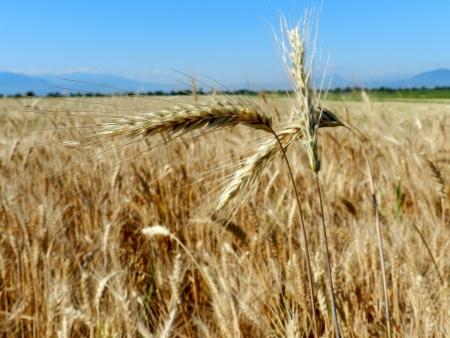Ears of ripe wheat among wheat field photo