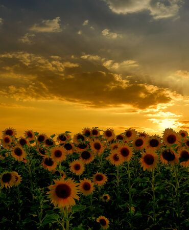 Beautiful sunset over sunflowers field photo