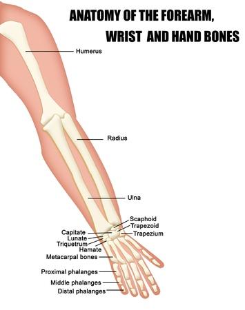 Anatomía de los huesos del antebrazo, muñeca y mano (útil para la educación en las escuelas y clínicas) Ilustración de vector
