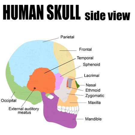 Side view of Human Skull, vector illustration (for basic medical education, for clinics & Schools)