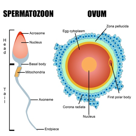 Structure of human gametes : egg and sperm (useful for education in schools and clinics )  Stock Vector - 16101641