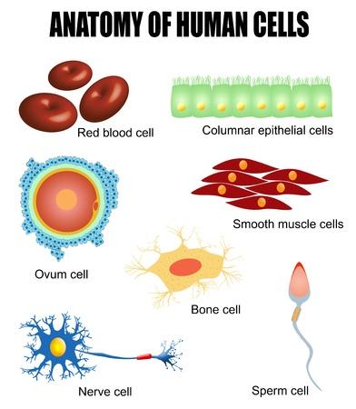 Anatomie van menselijke cellen (handig voor het onderwijs in scholen, klinieken) Vector Illustratie