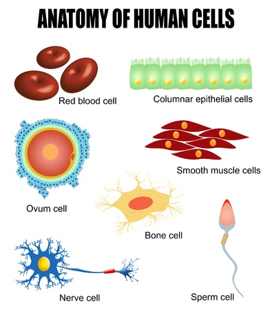 Human Anatomy. Motor Neuron, Red Blood Cell And White Blood Cell ...