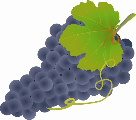 fruitful: Black grapes on white background, illustration