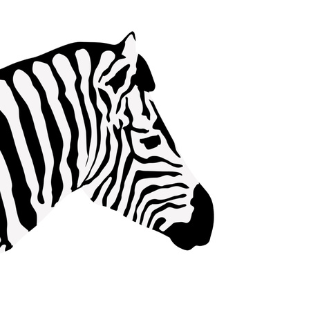 Zebra on white, vector illustration Vector