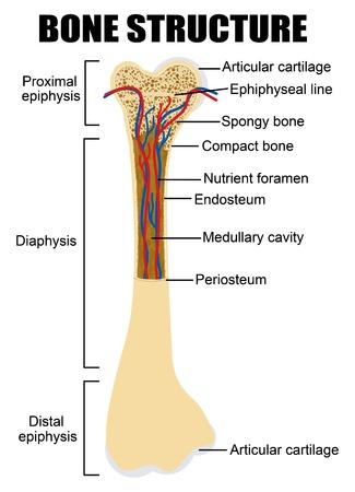 vasos sanguineos: Esquema de la anatomía ósea humana (útil para la educación en las escuelas y clínicas) - ilustración vectorial Vectores