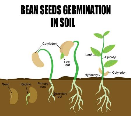 Sequenza di germinazione fagiolo semi nel terreno, illustrazione vettoriale (utile per l'Istruzione e Scuole)