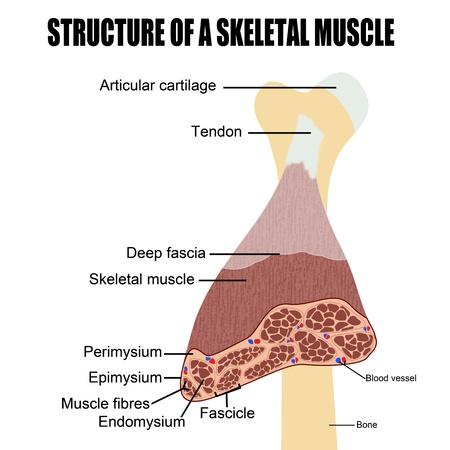 medical study: Struttura di un muscolo scheletrico (utile per l'educazione nelle scuole e cliniche) - illustrazione vettoriale