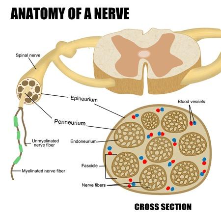 sistema nervioso: Anatom�a de un nervio para la educaci�n m�dica b�sica, para las escuelas cl�nicas Foto de archivo