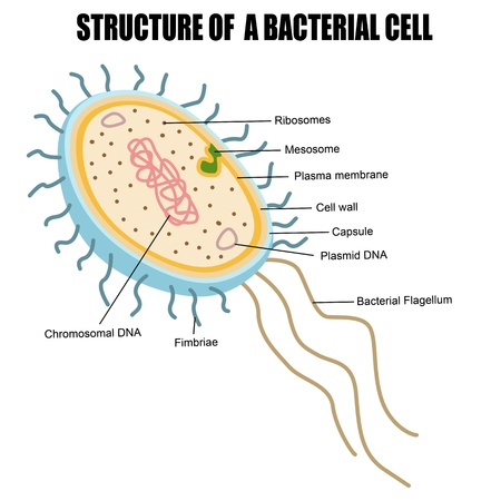 Structure of a bacterial cell, vector illustration (for basic medical education, for clinics & Schools)