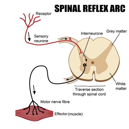 medula espinal: Spinal ilustración arco reflejo (para la educación médica básica, para las clínicas y escuelas)