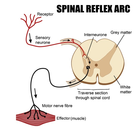 reflex: Spinal Reflex Arc illustration (for basic medical education, for clinics & Schools)