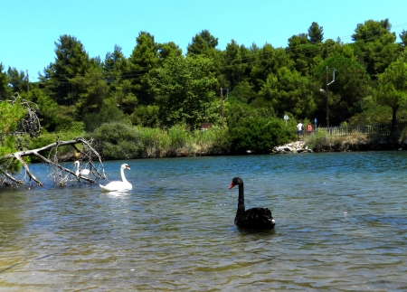Two swans white and black on a lake photo