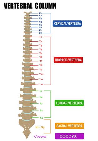 척추 - 척추 그룹 (경부, 흉부, 요추, 천골), 벡터 일러스트 레이 션 (기본 의학 교육을 위해, 진료소 및 학교)를 포함