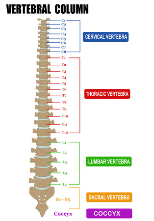 cervicales: La columna vertebral - incluyendo grupos V�rtebra (cervical, tor�cica, lumbar, sacra), ilustraci�n del vector (para la educaci�n m�dica b�sica, para las cl�nicas y escuelas)