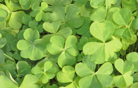 four leafed: Three leaf clovers background