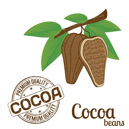 Cocoa beans on white background and cocoa grunge stamp, vector illustration Vector